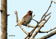 AJMithra's Photo of Scaly-breasted Munia (Lonchura punctulata)