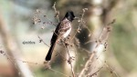 AJMithra's Photo of Red-vented Bulbul (Pycnonotus cafer)