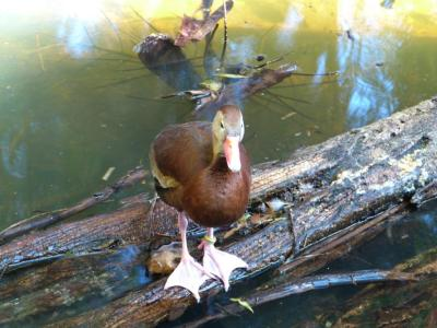 Black-bellied Whistling Duck (Dendrocygna autumnalis) at Palm Beach Zoo by Lee