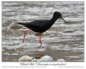 Black Stilt (Himantopus novaezelandiae) by Ian