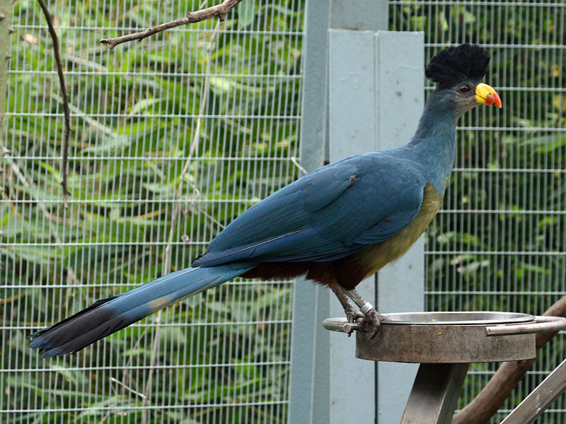 Great Blue Turaco (Corythaeola cristata) ©WikiC by SDZoo