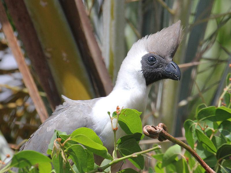 Bare-faced Go-away-bird (Corythaixoides personatus) ©WikiC