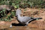 Grey Go-away-bird (Corythaixoides concolor) ©WikiC