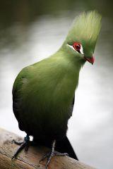 Guinea Turaco (Tauraco persa) ©WikiC