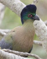 Purple-crested Turaco (Tauraco porphyreolophus porphyreolophus) WikiC