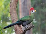 Red-crested Turaco (Tauraco erythrolophus) ©WikiC