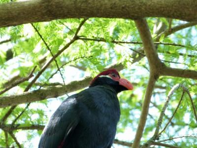 Violet Turaco (Musophaga violacea) by Lee at LPZ