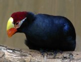 Violet Turaco (Musophaga violacea) ©WikiC