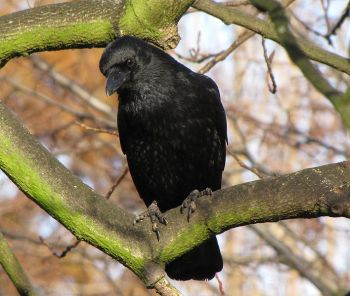 Carrion Crow (Corvus corone) Southend-on-Sea England ©WikiC
