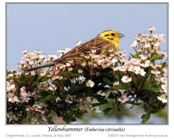 Yellowhammer (Emberiza citrinella) by Ian 1