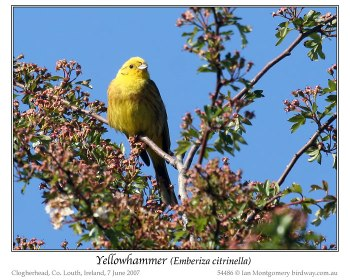 Yellowhammer (Emberiza citrinella) by Ian 2