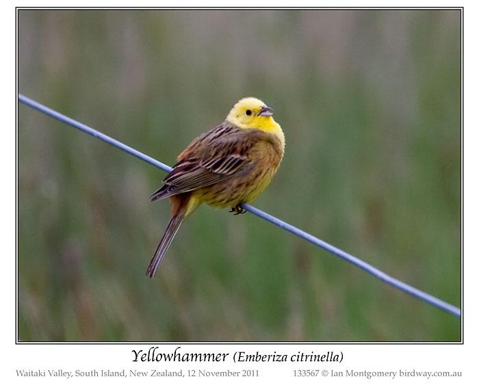 Yellowhammer (Emberiza citrinella) by Ian 3