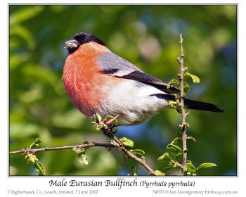 Eurasian Bullfinch (Pyrrhula pyrrhula) by Ian