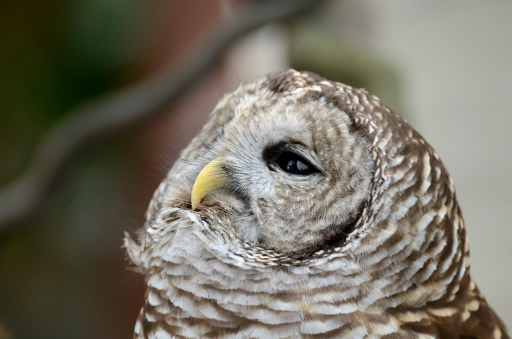 Northern Barred Owl (Strix varia) LPZ by Dan 2014
