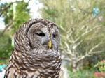 Northern Barred Owl (Strix varia) LPZ by Lee 2014