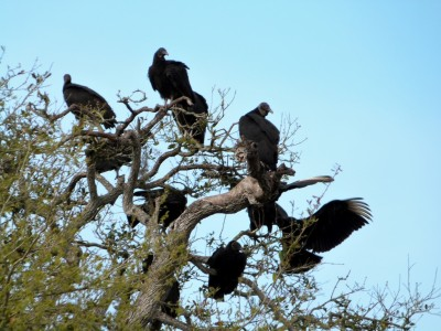 Black Vulture Tree by Lee Myakka SP