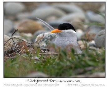 Black-fronted Tern (Chlidonias albostriatus) by Ian
