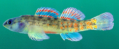 Deep Sea Fish - Watercress darter - Creation Moments