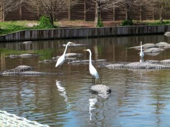 Gators at Gatorland - Great Egrets catching a ride