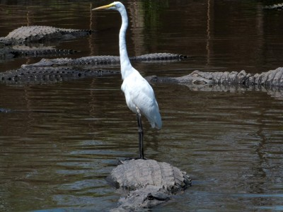 Gators at Gatorland - Great Egrets catching a ride
