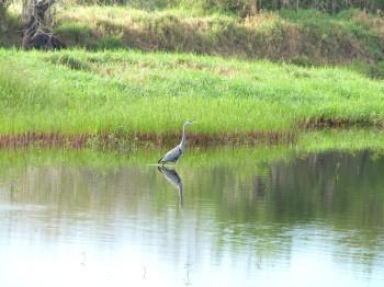 Great Blue Heron  by Lee Myakka SP