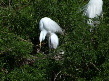 Great Egret at Nest with Chick at Gatorland by Lee
