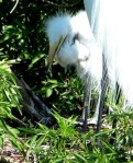 Great Egret at Nest with Chick at Gatorland by Lee cropped