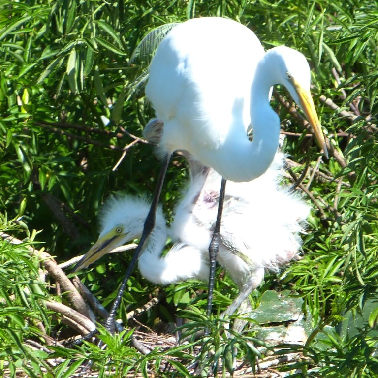 Great Egret at Nest with Chick at Gatorland by Lee cropped more
