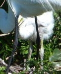 Great Egret at Nest with Chick at Gatorland  cropped more