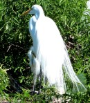 Great Egret at Nest with Chick at Gatorland cropped