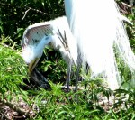 Great Egret at Nest with Chick at Gatorland  9cropped