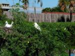 Great Egret on Nest at Gatorland
