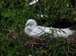 Great Egret on Nest at Gatorland