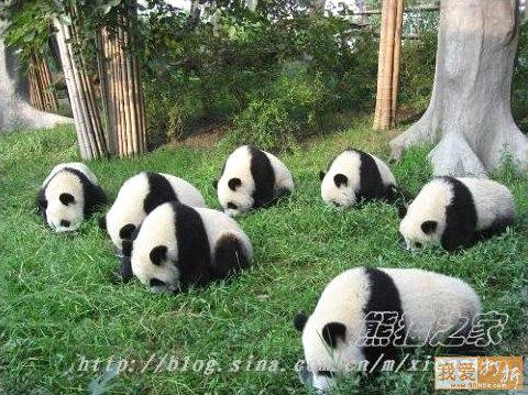 Pandas looking for lost earrings....