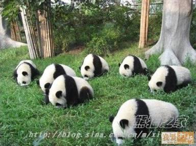 Pandas looking for lost earrings....