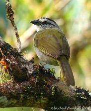 Black-striped Sparrow (Arremonops conirostris) by Michael Woodruff