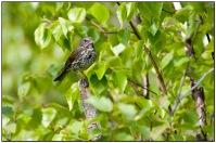 Red Fox Sparrow (Passerella iliaca) by Daves BirdingPix
