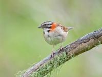 Rufous-collared Sparrow (Zonotrichia capensis) by Dario Sanches