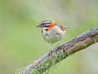 Rufous-collared Sparrow (Zonotrichia capensis) by Dario Sanches