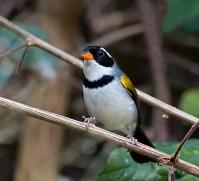 Saffron-billed Sparrow (Arremon flavirostris) by Dario Sanche