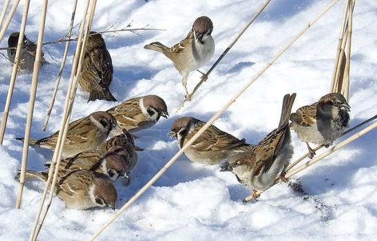Sparrows in snow ©©Bing