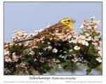 Yellowhammer (Emberiza citrinella) by Ian