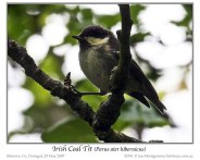 Coal Tit (Periparus ater hibernicus) (Irish) by Ian