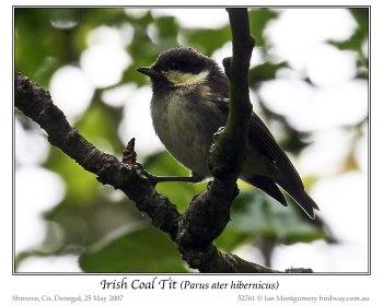 Coal Tit (Periparus ater hibernicus) (Irish) by Ian