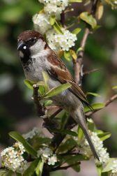 Italian Sparrow (Passer italiae) ©WikiC