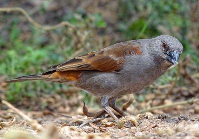 Parrot-billed Sparrow (Passer gongonensis)