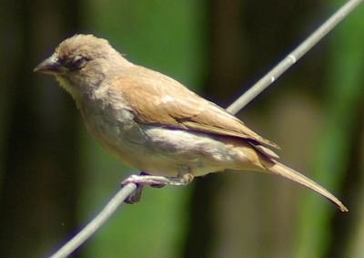 Swahili Sparrow (Passer suahelicus) ©WikiC