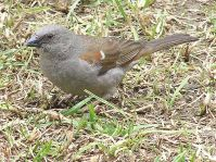 Swainson's Sparrow (Passer swainsonii) ©WikiC