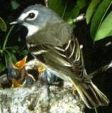 Blue-headed Vireo (Vireo solitarius) ©WikiC