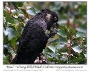 Long-billed Black Cockatoo (Calyptorhynchus baudinii) by Ian